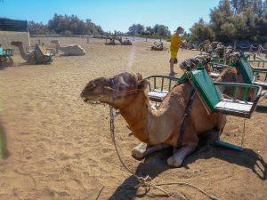 kameli safari maspalomas gran canaria