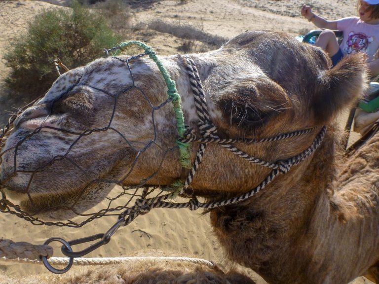 kameli gran kanaria